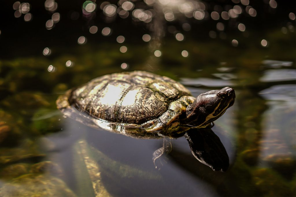 Close up photo of a turtle swimming in a river.