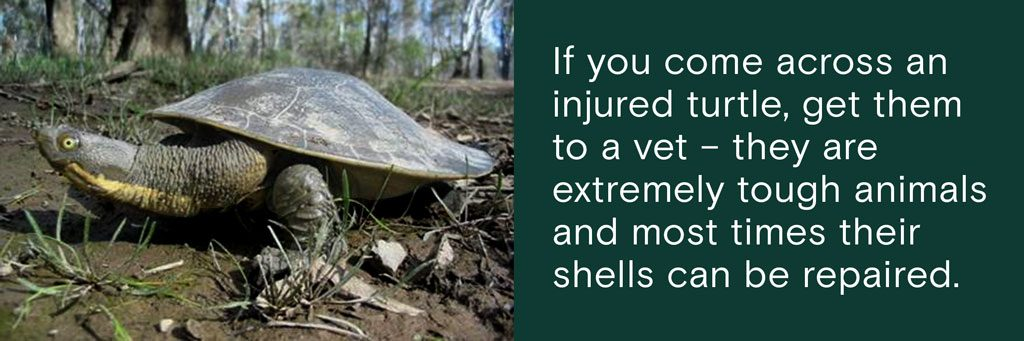 If you come across an injured turtle, get them to a vet – they are extremely tough animals and most times their shells can be repaired.