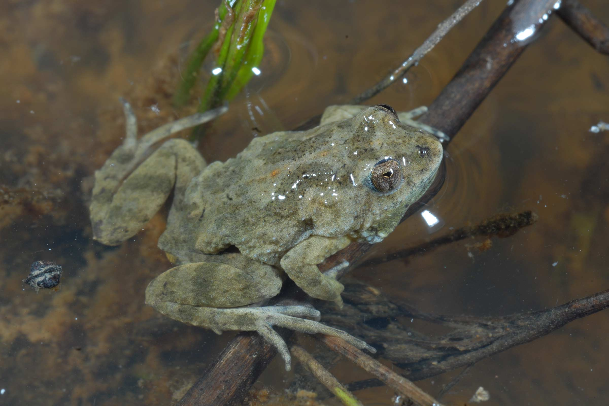 A Sloane's froglet in a pond