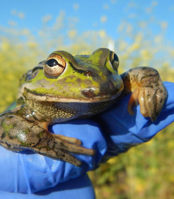 Charles Sturt researcher holding a southern bell frog